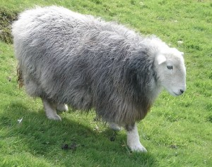 Awww! Herdwick sheep